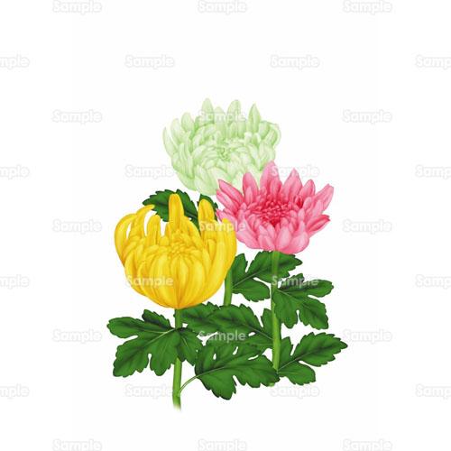 菊,キク,花,のイラスト(001_0002 ... : 桜 飾り : すべての講義