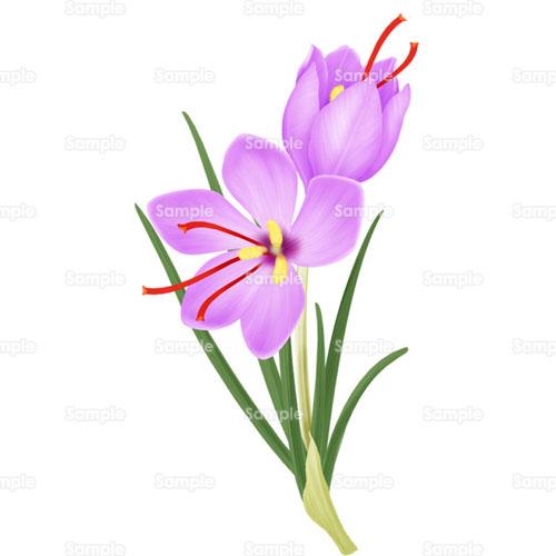 植物;サフラン,花,ハーブ, サフラン,花,ハーブ,のイラスト(001_0057) | クリエー