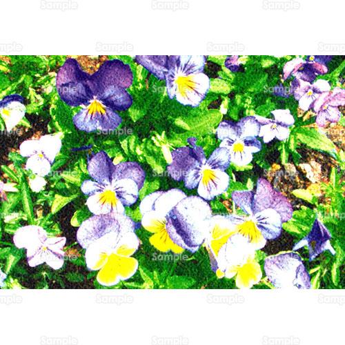 ビオラ (植物)の画像 p1_35