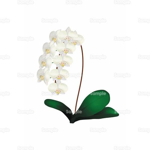 お祝い蘭ラン胡蝶蘭ファレノプシス花のイラスト1050052